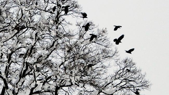 Płoszenie ptaków w Krośnie. Dlaczego sierpówka?